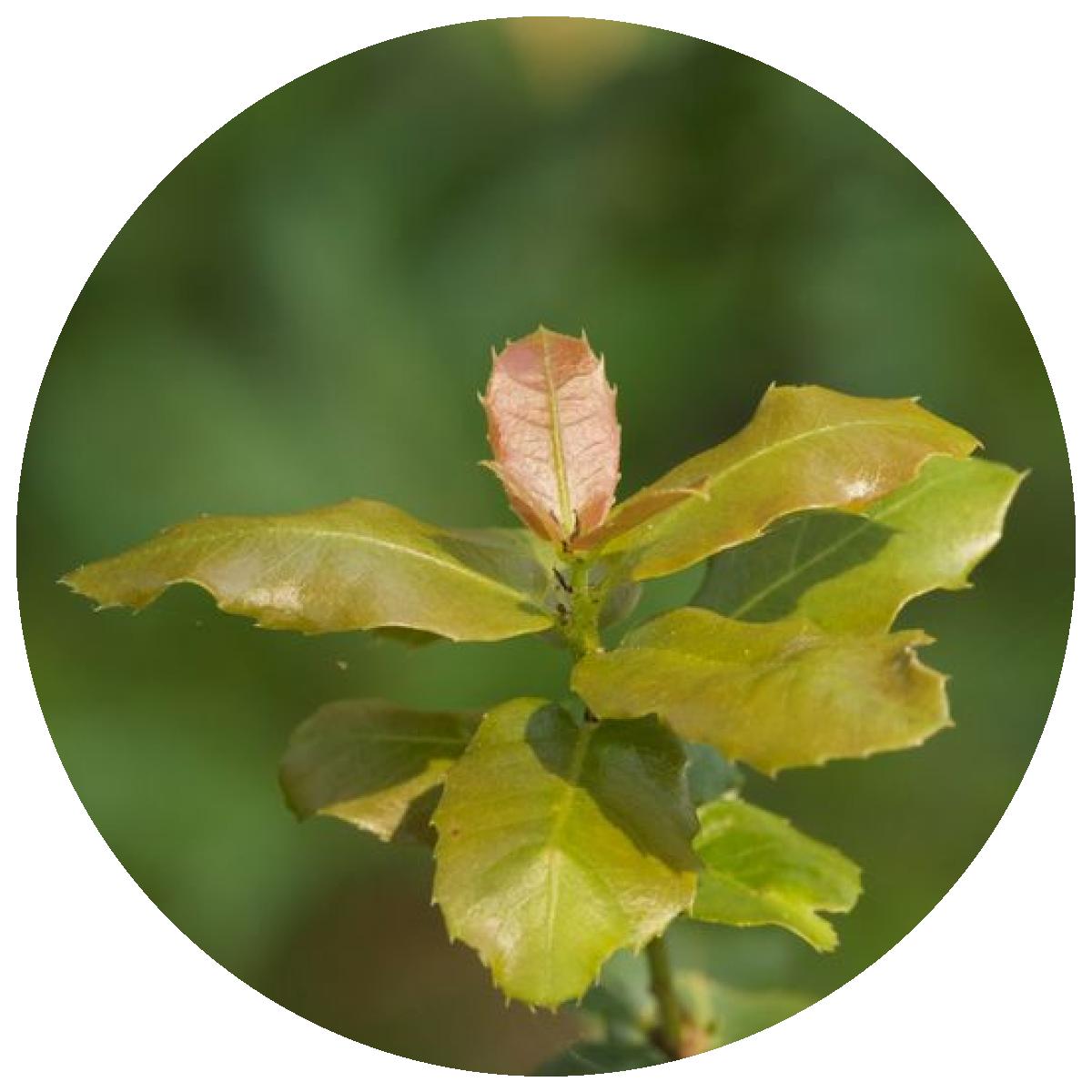 Gallipoli Oak